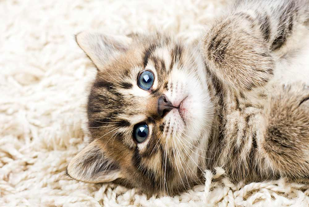 Fuzzy kitten laying on carpet