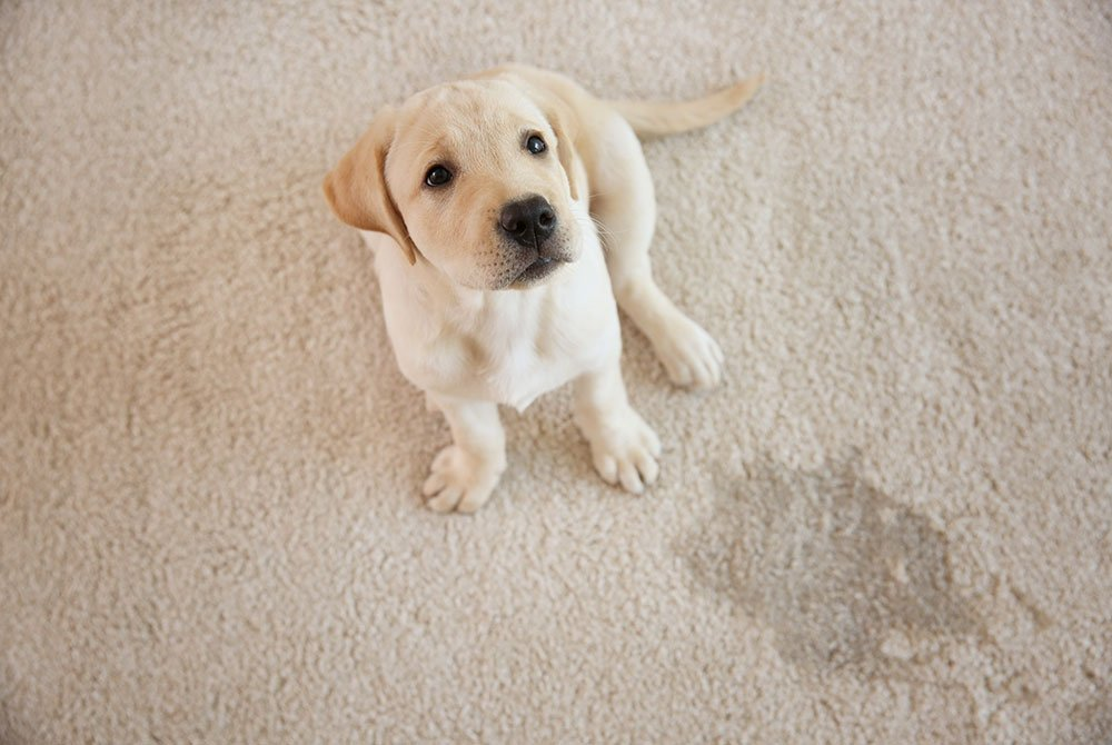 Dog sitting on stained carpet