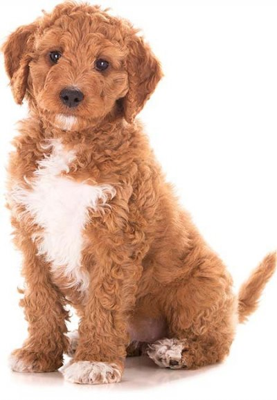Goldendoodle puppy sitting
