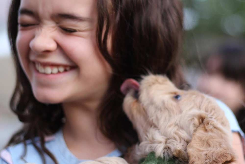 Goldendoodle puppy licking girl