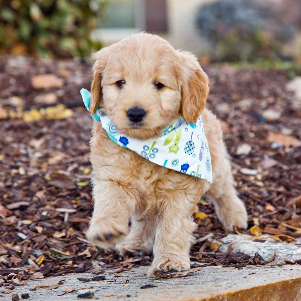 Goldendoodle puppy running outside