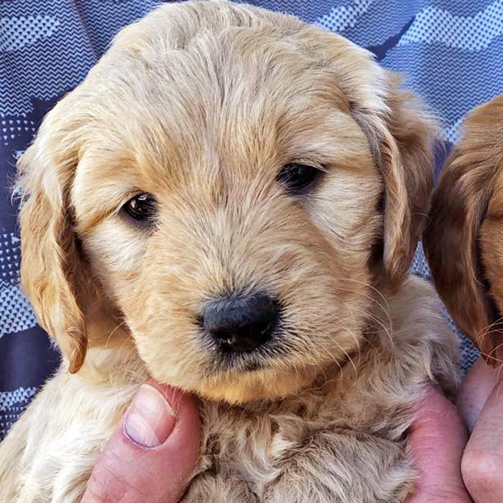 Goldendoodle puppy being held