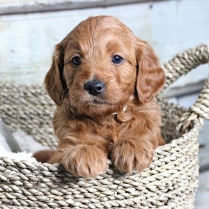 Goldendoodle puppy in a basket