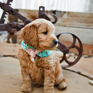 Goldendoodle puppy outside