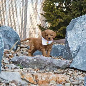 Goldendoodle puppy standing on a rock