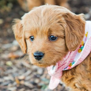 Goldendoodle puppy with pink bandana