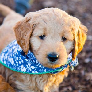 Goldendoodle puppy with blue floral bandana