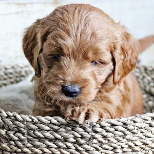 Goldendoodle puppy sitting in a basket