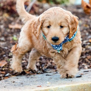 Goldendoodle puppy with blue bandana playing outside